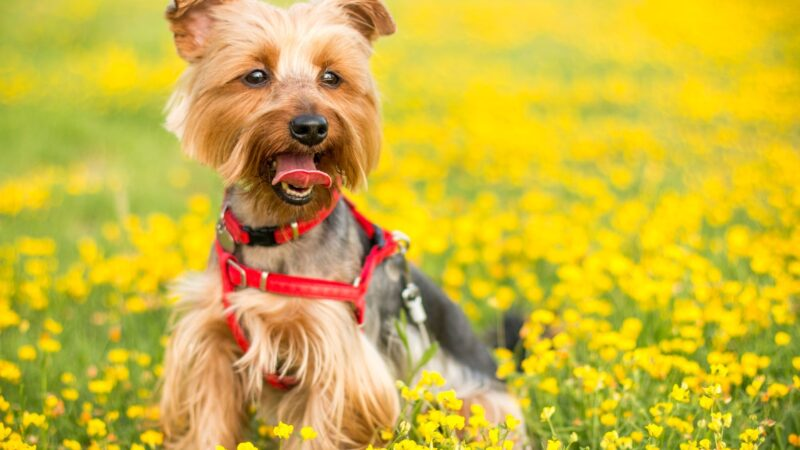 Getting a Yorkshire Terrier – What They are Like and How to Take Good Care of Them